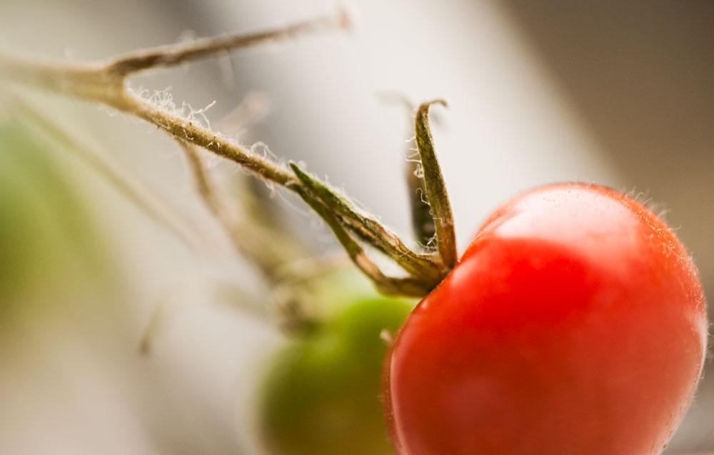 En röd tomat